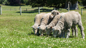 Merino sheep Royalty Free Stock Photos