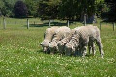 Merino sheep Stock Image