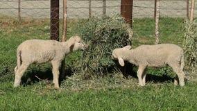 Merino sheep lambs stock video footage