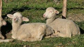 Merino sheep lambs. Two small merino sheep lambs resting in a paddock stock video footage