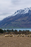 Merino Sheep Royalty Free Stock Photos