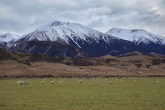 Merino sheep  in rural farm new zealand Royalty Free Stock Photo