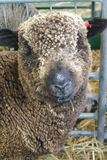Merino sheep stands in a pen Stock Images