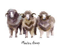 Merino sheep watercolor on the white background. hand drawn cute illustration. Creative farm animals. Background for Muslim Commun. Ity, Festival of Sacrifice Stock Image