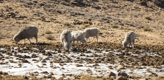 Merino sheeps and Angora goats herd feed in the Drakensberg, Lesotho. Royalty Free Stock Images