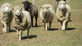 Merino Sheeps Stock Images