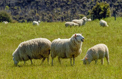 Merino sheeps new zealand Royalty Free Stock Photo