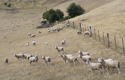 Merino sheeps on pasture. In New Zealand Royalty Free Stock Photos