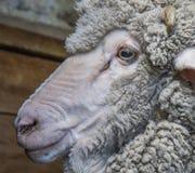 Merino Wether Sheep Head Shot Stock Images