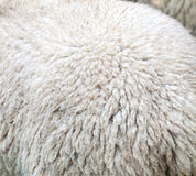 Merino wool Royalty Free Stock Photography