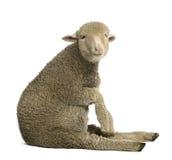 Merinos lam, 4 maanden oud Stock Afbeeldingen