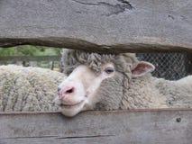 Merinos schapen royalty-vrije stock afbeeldingen