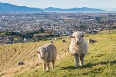 Merinoschafe, die über Blenheim-Stadt, Südinsel, Neuseeland weiden lassen Lizenzfreie Stockfotos