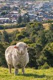 Merinoschafe, die auf grasartiger Steigung über Blenheim-Stadt, Neuseeland weiden lassen Stockfotografie