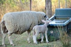 Merinoschafe, die ihrem Lamm unterrichten, wie man Wasser trinkt Stockbild