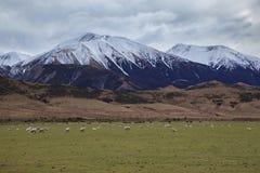 Merinosschapen in landelijk landbouwbedrijf Nieuw Zeeland Royalty-vrije Stock Foto