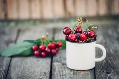 Merises fraîchement sélectionnées organiques mûres dans la tasse d'émail de vintage sur le fond vert de nature de jardin de feuil Photo stock