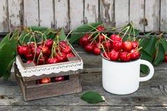 Merises fraîchement sélectionnées organiques mûres dans la tasse d'émail de vintage sur le fond vert de nature de jardin de feuil Photo libre de droits