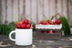 Merises fraîchement sélectionnées organiques mûres dans la tasse d'émail de vintage sur le fond vert de nature de jardin de feuil Images libres de droits