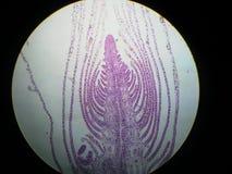 Meristema apical del verticillata de Hydrilla Foto de archivo