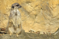 Merkat suricata Royalty Free Stock Photos
