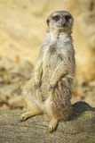 Merkat suricata Royalty Free Stock Photo