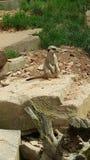 Merkat zoo Arkivfoton