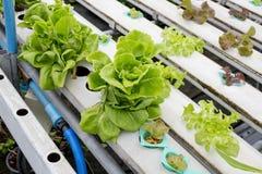 Merket idroponico organico della Tailandia dell'orto Fotografia Stock