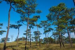 Phu soi dao. Merkus  pine tree forest at Phu Soi Dao national park Uttaradit province Thailand Royalty Free Stock Photo