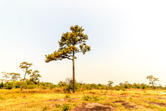 A Merkus pine tree standing tall in an open field Stock Images