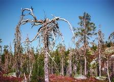 Merkwürdige trockene Bäume Stockfoto