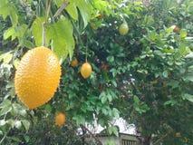 Merkwürdige tropische Frucht in Thailand stockfotos
