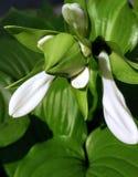 Merkwürdige ungewöhnliche Blume, Knospe Lizenzfreie Stockbilder