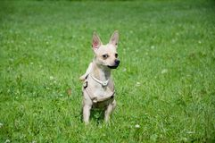 Merkwürdiger Hund Lizenzfreies Stockfoto