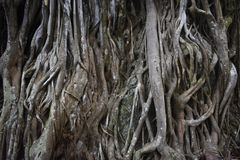 Merkwürdiger tropischer Baum mit den sehr einzigartigen Wurzeln, die über dem Boden hervorstehen stockfoto