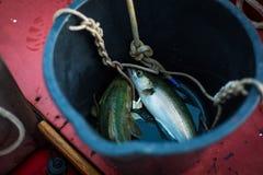 Merlans jaunes de poissons fraîchement pêchés dans un seau Photos stock
