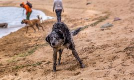 Merle博德牧羊犬狗震动在海滩的岸的水 库存照片