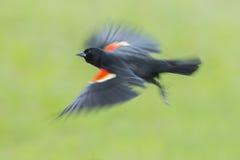 Merle à ailes rouges en vol Photographie stock libre de droits