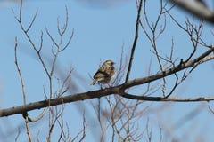 Merle à ailes rouges -- Femelle Photo stock