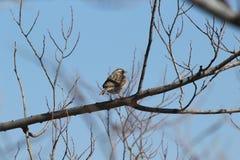 Merle à ailes rouges -- Femelle Photo libre de droits