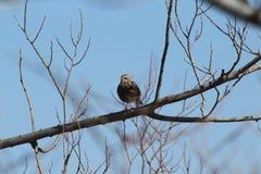 Merle à ailes rouges -- Femelle Photos libres de droits