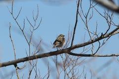 Merle à ailes rouges -- Femelle Photographie stock libre de droits