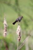Merle à ailes rouges femelle Photos stock