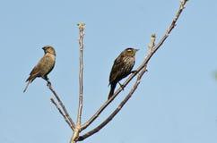 Merle à ailes rouges femelle dans l'arbre avec le Cowbird à tête de Brown Images libres de droits