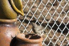 Merle à ailes rouges juvénile sur le fontain photo libre de droits