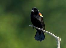 Merle à ailes rouges - phoeniceus d'Agelaius images libres de droits