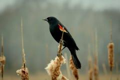Merle à ailes rouges se reposant sur des cattails Images libres de droits