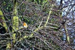 Merle à gorge rouge dans les branches d'arbre nues images libres de droits