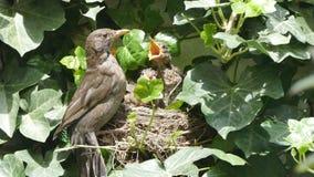 Merle гнезда птицы сток-видео