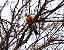 Merle américain dans l'arbre pendant l'hiver froid au Michigan image stock